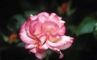 rosa-auscrim_1767294c