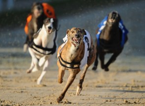greyhound laying system