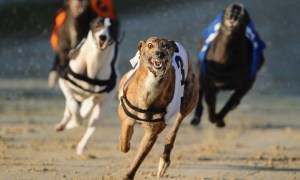 Easy System For Picking Losing Greyhounds