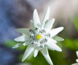 La flor de Edelweiss, de color blanco, ayuda a aumentar la producción de leche