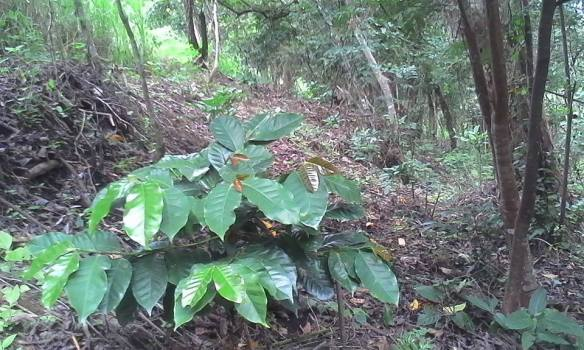 Our arabica coffee trees planted under the shade of taller trees
