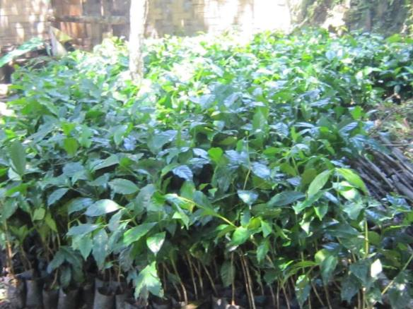 Seedlings coming from La Trinidad