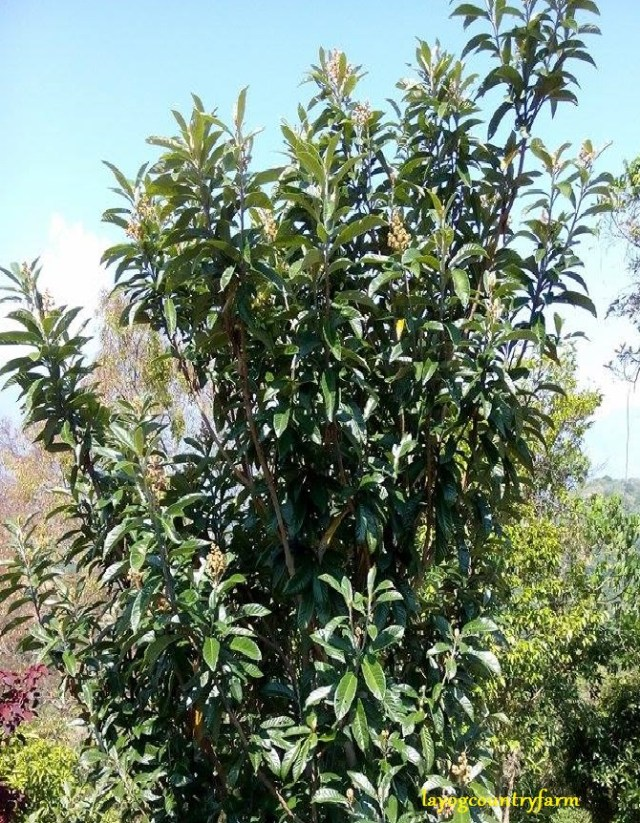 locquat tree