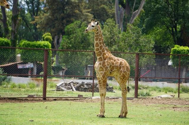 Nace segundo ejemplar de jirafa reticulada en el Zoológico de Morelia