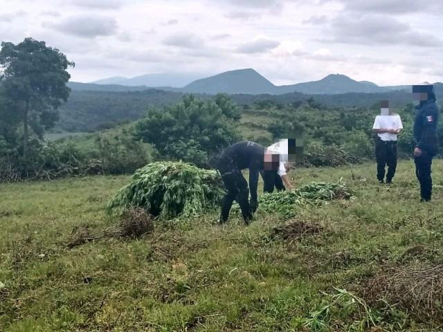 Destruyen SSP y Policía Morelia 200 plantas de marihuana