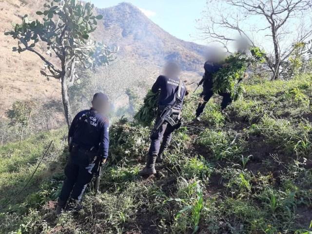 Destruye SSP aproximadamente 12 mil plantas de marihuana, en Tzitzio