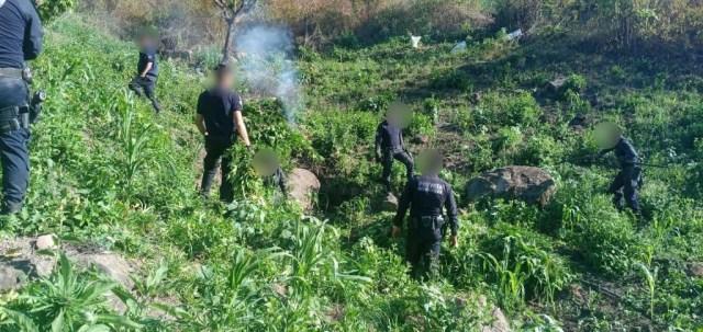 Destruye SSP 3 mil 500 plantas de marihuana, en Charo
