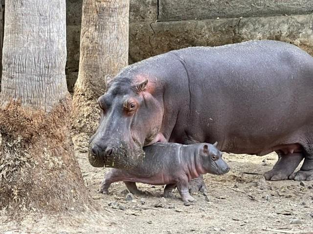 Hipopótamo de Nilo, nuevo integrante del Zoológico de Morelia