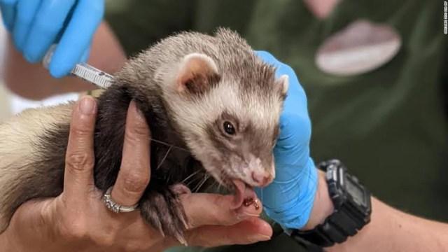 Zoológicos en EE.UU. vacunan contra el covid-19 a tigres, osos y gorilas