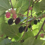 Picking Mulberries at work @ 12:50
