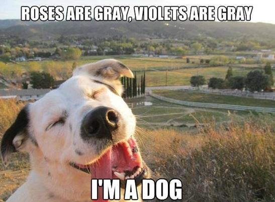 funny-roses-violets-grey-im-dog-happy-pics