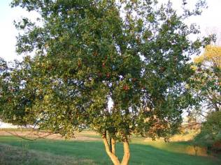 Jujube tree (www.veggiegardeningtips.com/unusual-jujube-fruits-earn-a-second-opinion)