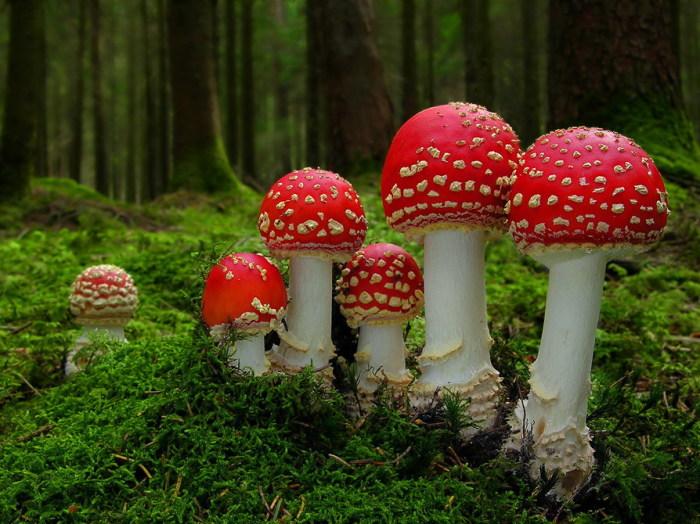 redmushrooms