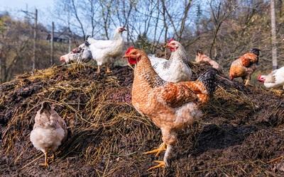 चिकन खाद उर्वरक