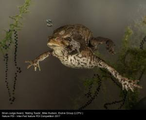 Mating Toads, by Mike Hudson