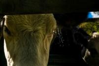 cows-and-water-2-ldpfotoblog