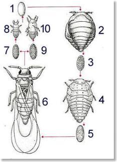 Différentes formes du phylloxéra