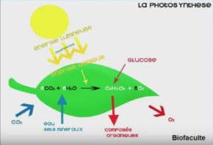 photosynthèse par les feuilles vertes