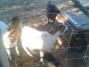 chèvres au râtelier
