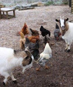 poules et chèvres cohabitent