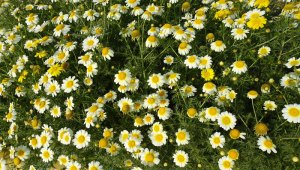 Read more about the article Chrysanthème comestible