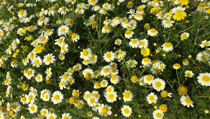 You are currently viewing Chrysanthème comestible