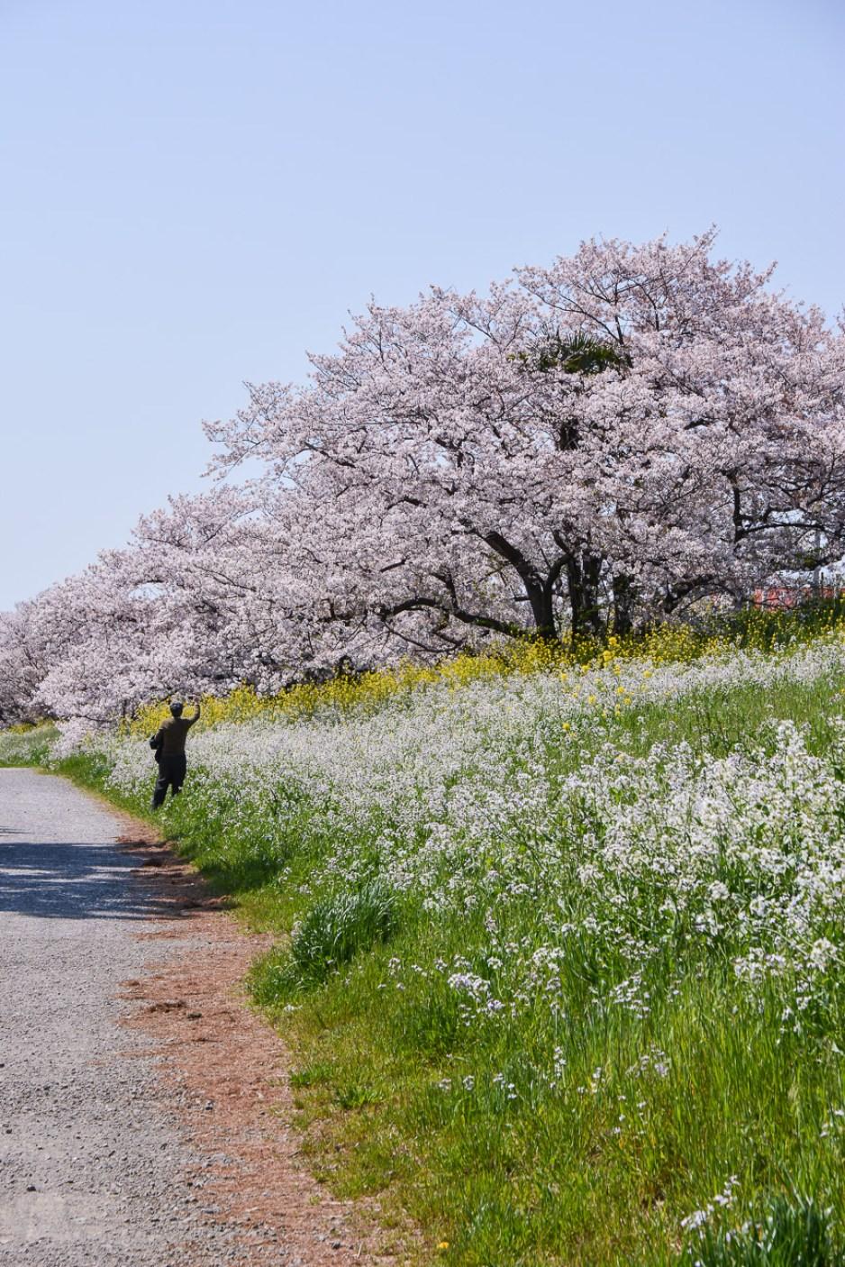 voyage tokyo hanami cerisiers fleurs tamagawa river