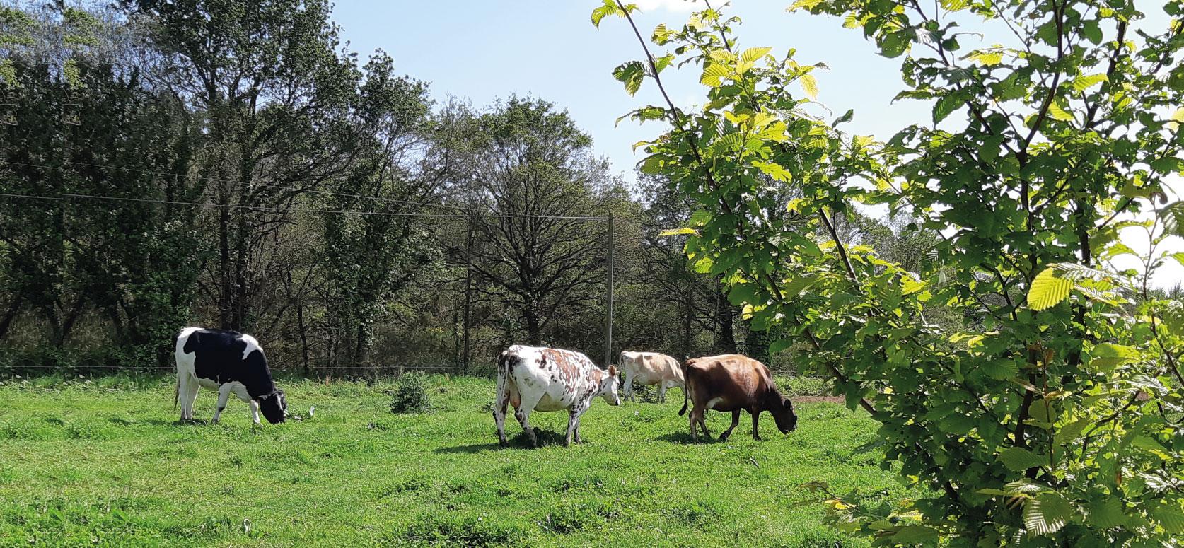 Ferme pré vaches kervihan