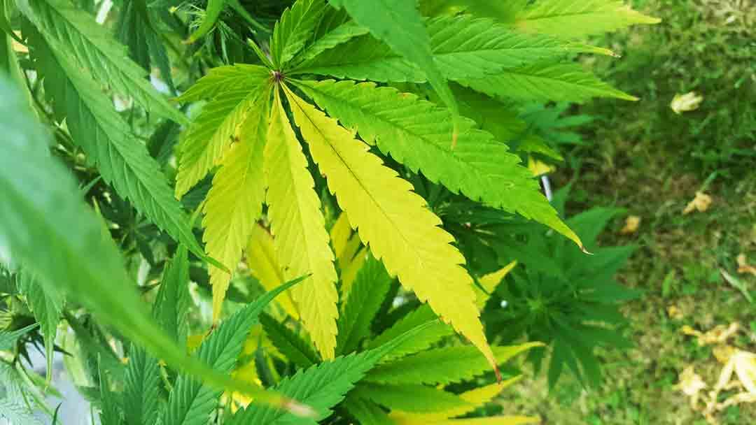 La vente de cannabis comptabilisée dans le PIB Français