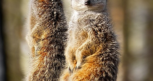 Meerkats know what their buddies are up to!