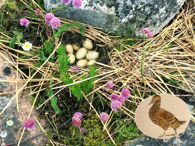 Ägg och Åda illustrerad