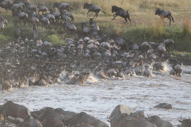 Ultimate safari adventure: great wildebeest migration river crossing