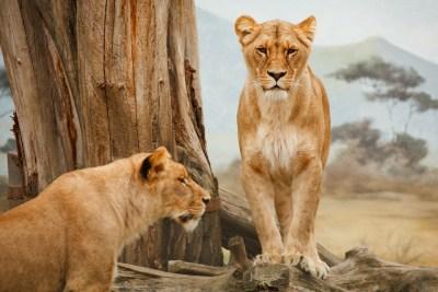 Kenya Safari Lion Pride