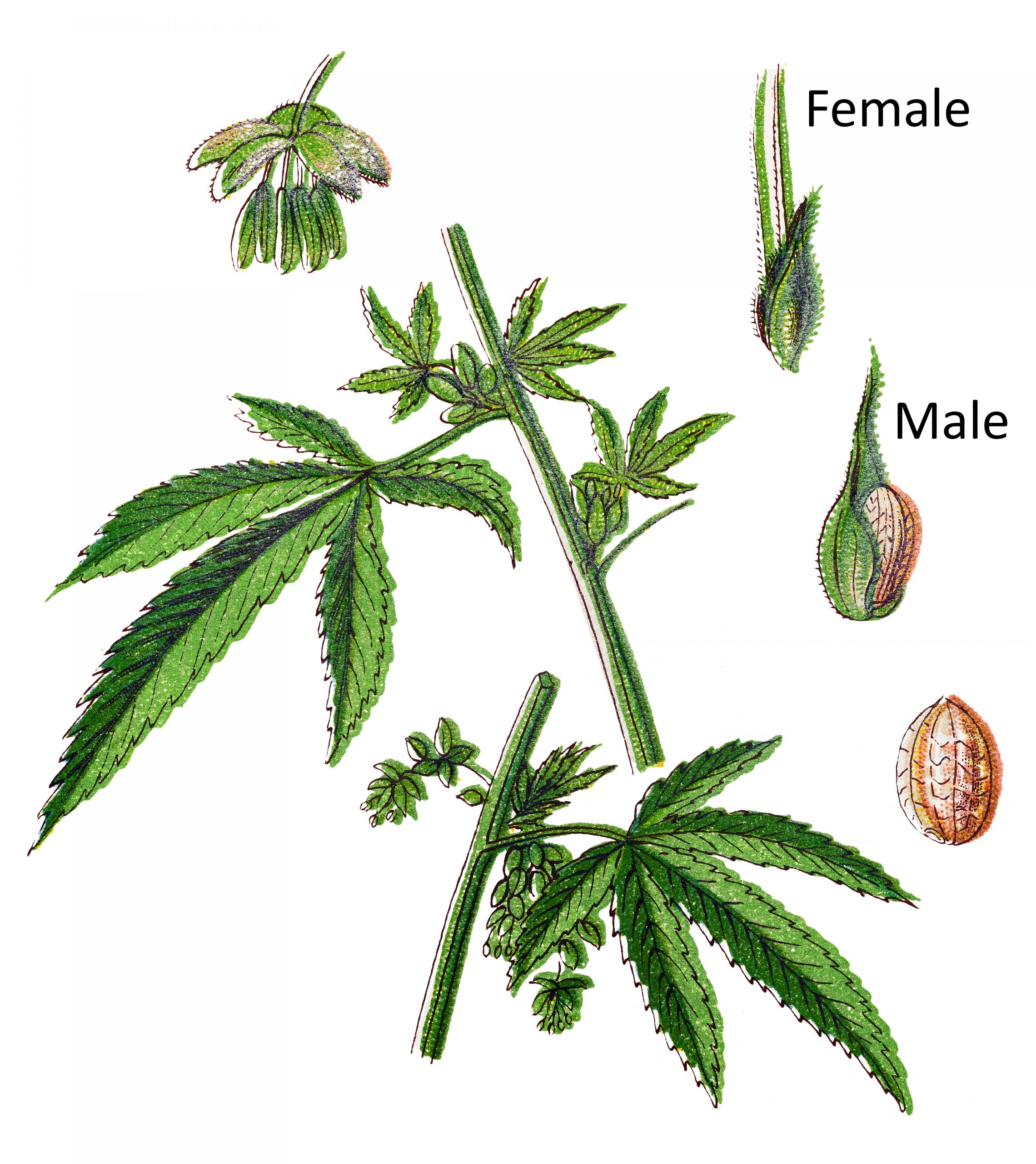 Male Vs Female Cannabis Plant Anding Guide