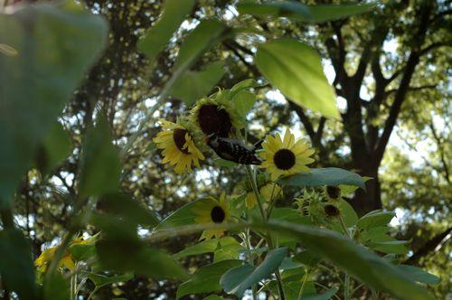 Harvest_ sunflower gymnast