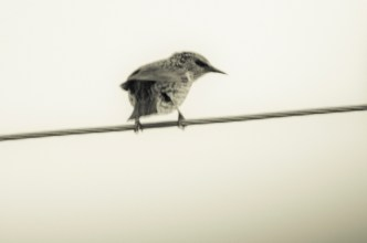 9-23-14_one_starling-1