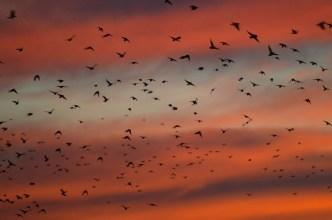 9-23-14_starlings-1-2