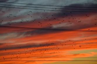 9-23-14_starlings-1-22