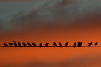 9-23-14_starlings-1-3