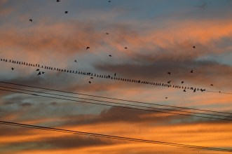 9-23-14_starlings_sunset-1-6