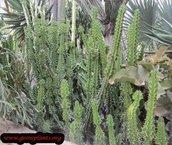 euphorbia-grandicornis-1