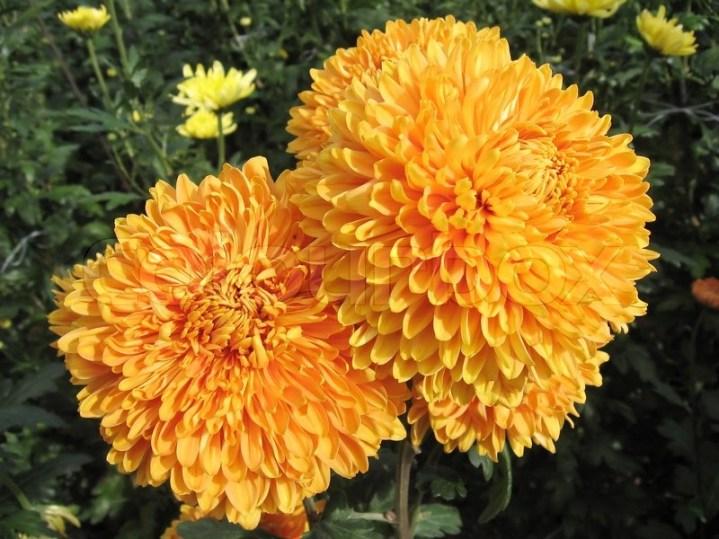 2226472-photo-of-the-beautiful-big-orange-chrysanthemum-close-up