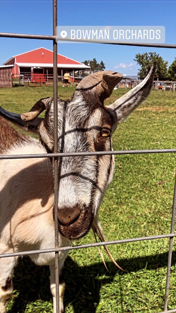 Goat at Bowman Orchards in Upstate NY