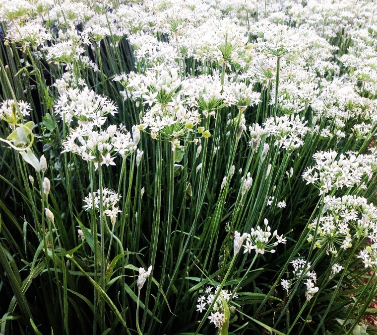 Edible flowering chives.jpg