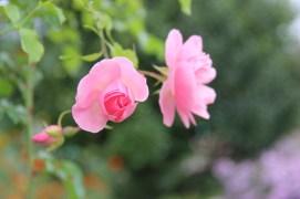 Monet's Gardens   pink
