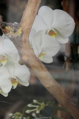 Paris   orchids
