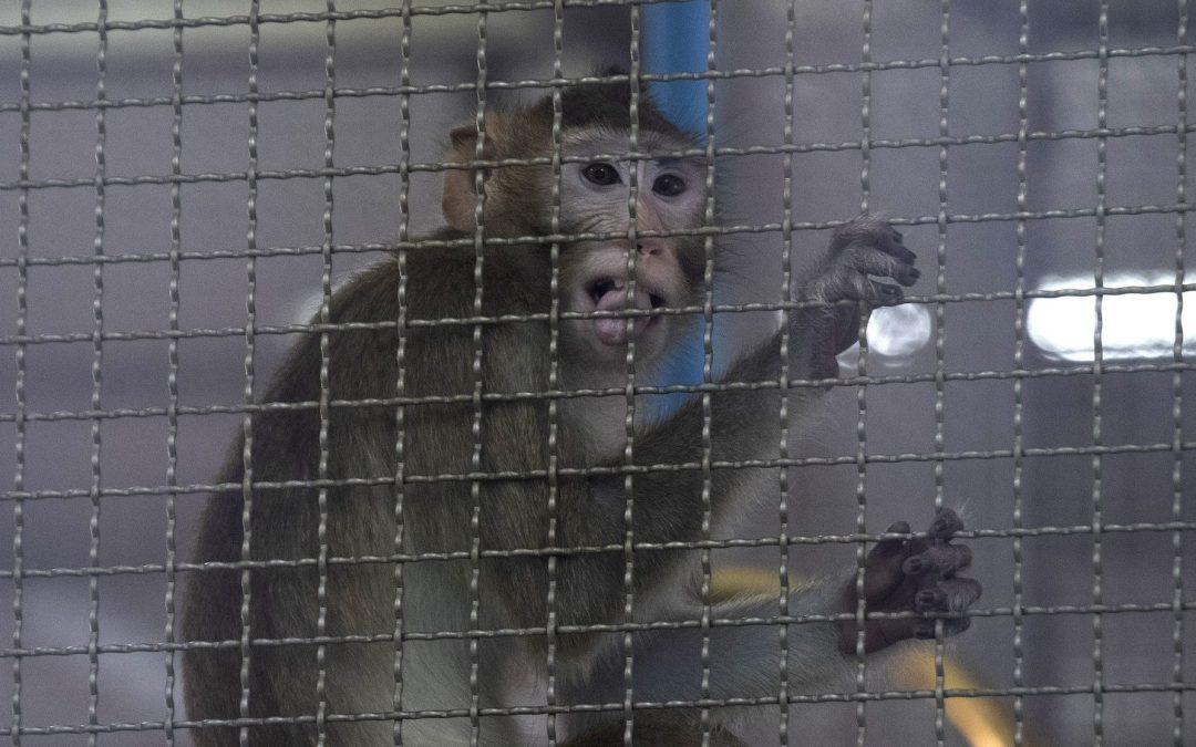 """LEAL VIVISEZIONE LA VERGOGNA DELLA RICERCA CON ANIMALI: HANNO """"FINITO"""" LE SCIMMIE PER I TEST COVID"""