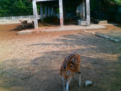 Sunderban Deer