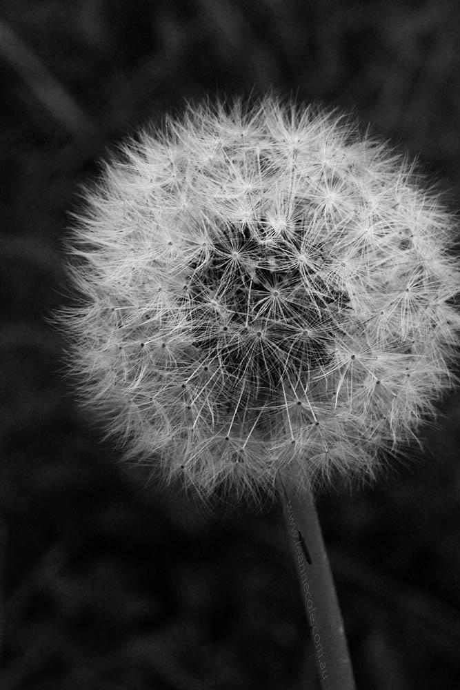 leannecole-dandelion-monochromemadness-0881