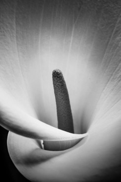 lily-black-white-monochrome-closeup